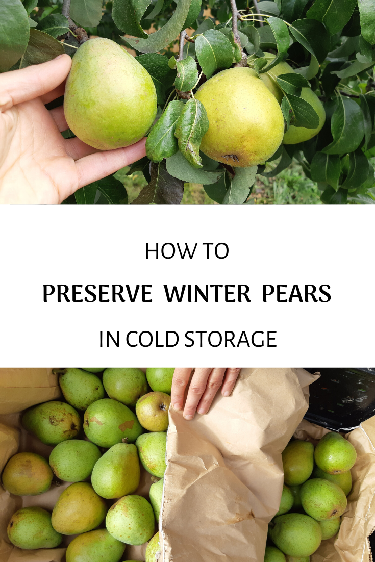 How To Harvest And Keep Pears In Cold Storage A Traditional Life Cold Storage Pear Winter Storage