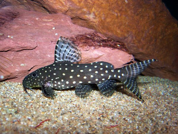 African Catfish Catfish Tropical Fish Aquarium Tropical Fish