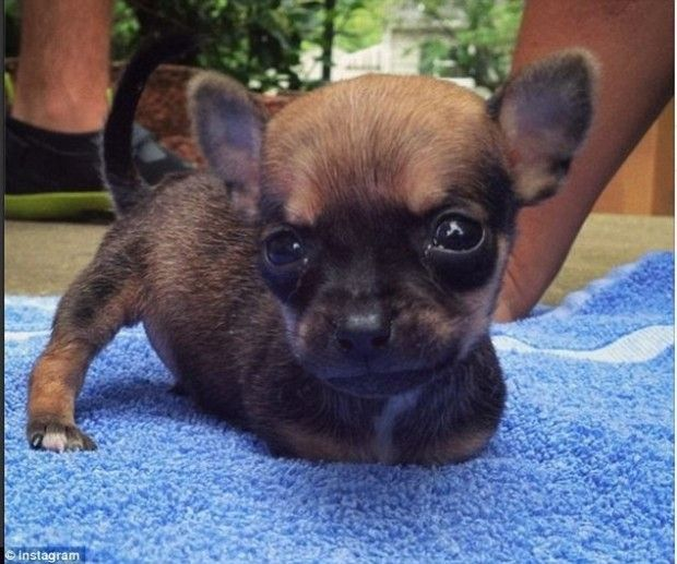 Improvise Cart Puppies Born Without Front Paws Chihuahua Baby