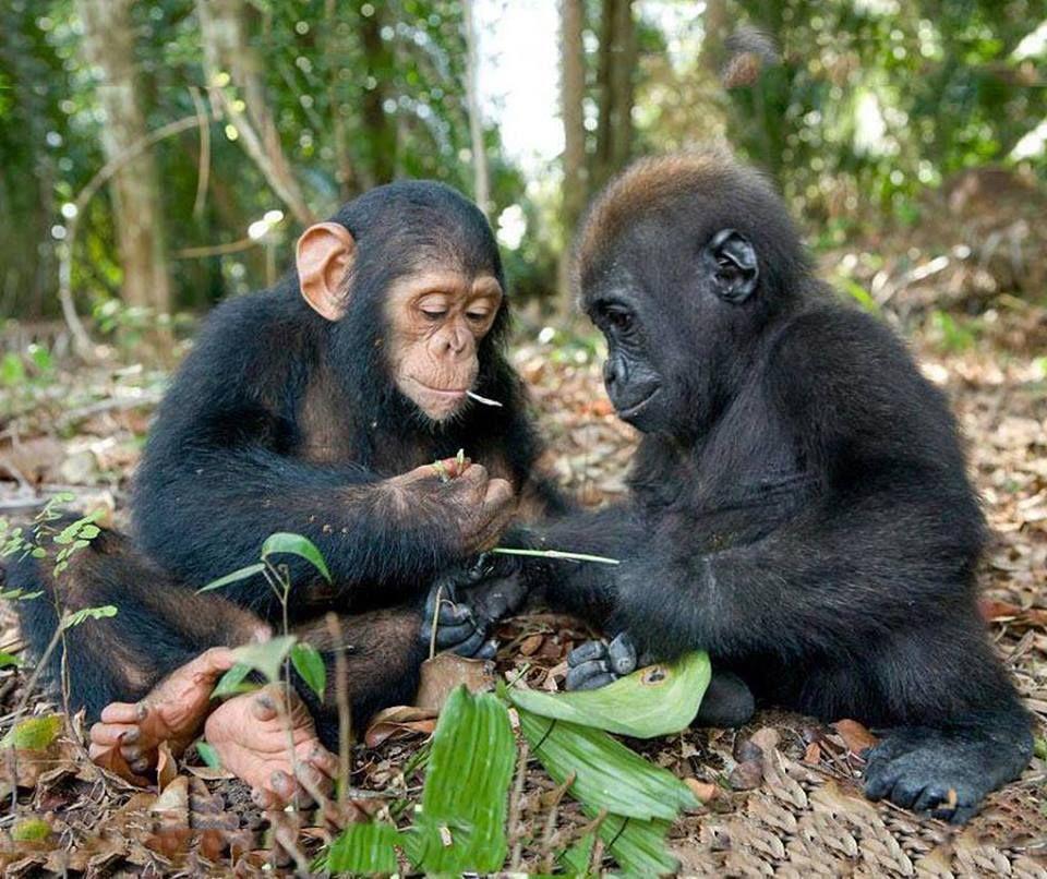 Baby Chimpanzee & baby Gorilla | Animals | Pinterest ...