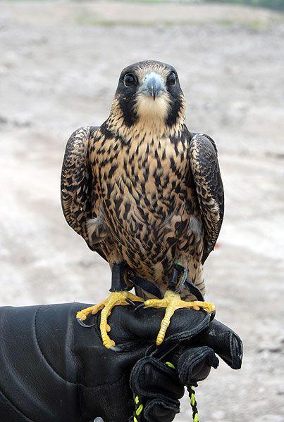 Animal Training Birds Of Prey