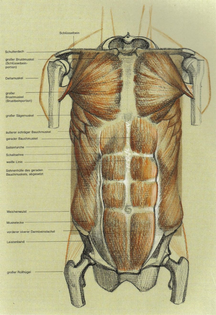 Gottfried Bammes Die Gestalt Des Menschen Anatomy Visual Arts