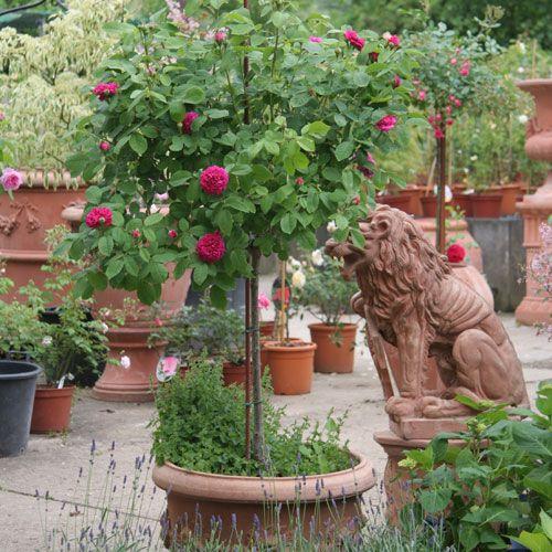 ratgeber rosen im kuebel rosen informatives rosen von schultheis rosen pinterest