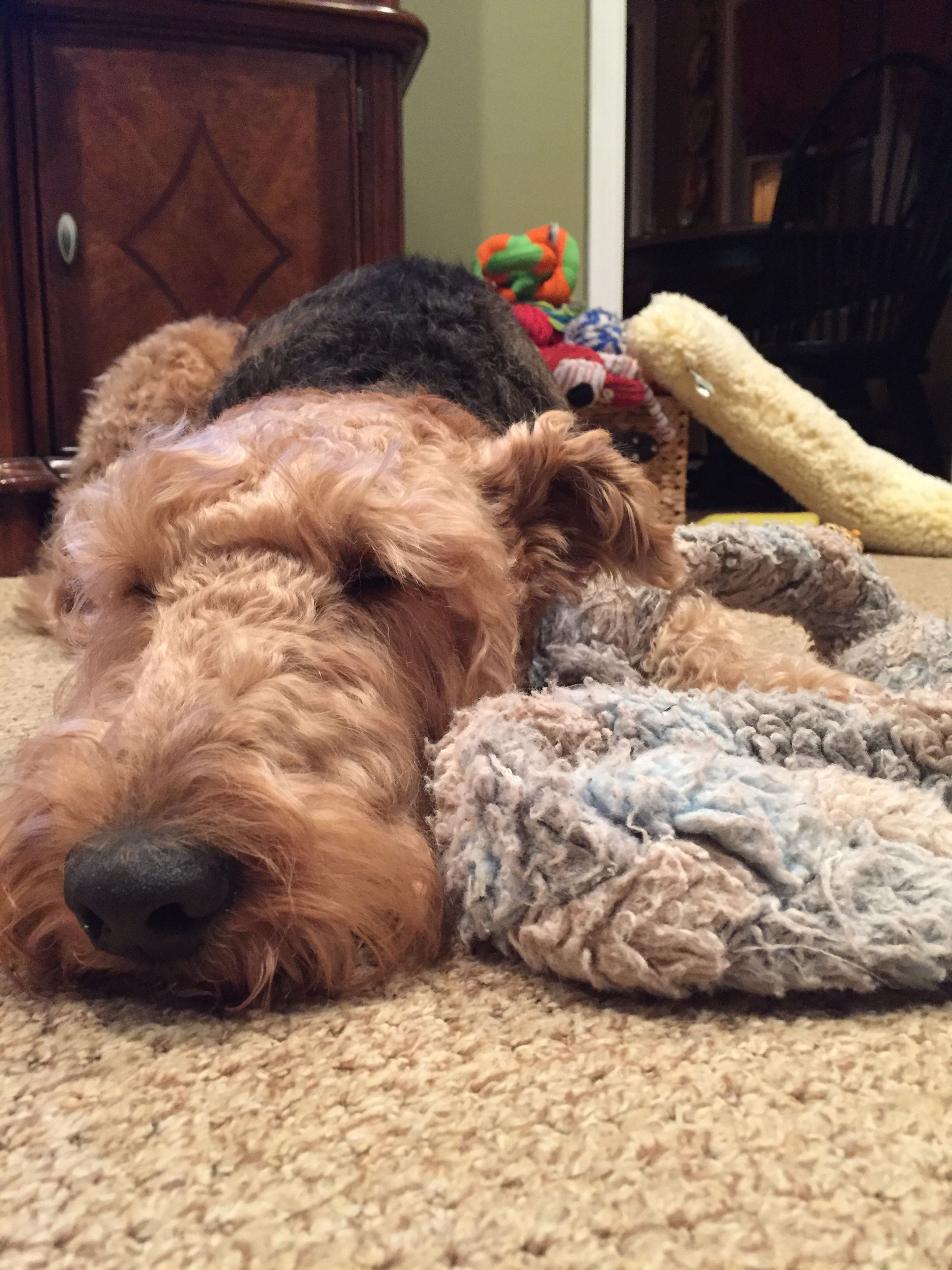 Sleepy Dog Love Airedale Terrier Beautiful Dogs