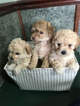 CavachonCavapoo Mix puppy for sale in HOUSTON, TX. ADN