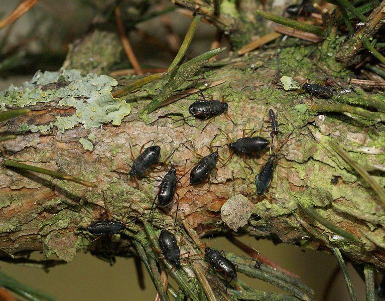 Cinara piceae -- Christmas tree critters aren't ticks ...