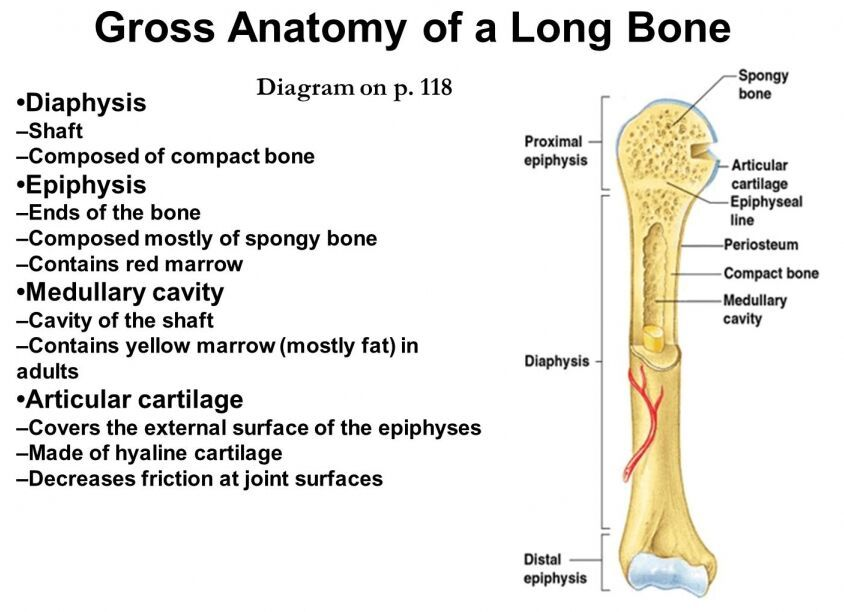 Gross anatomy of a long bone - www.anatomynote.com | Anatomy note ...