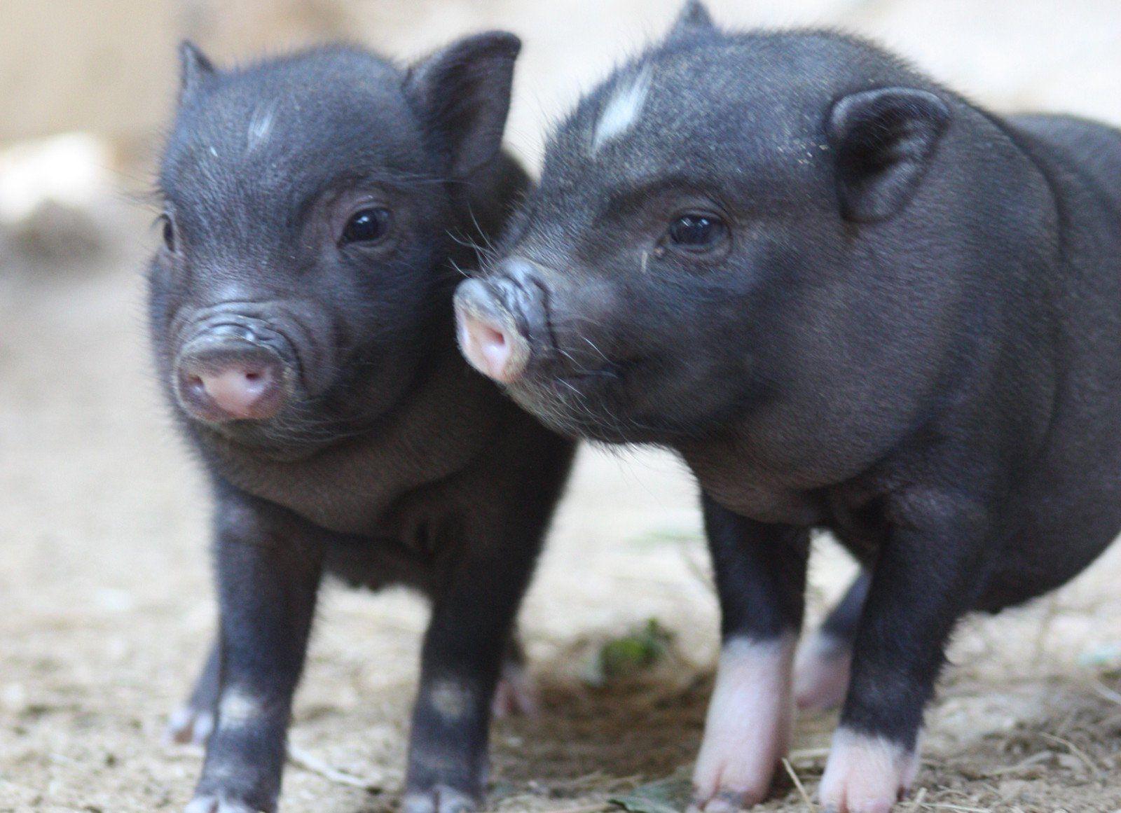 die besten 25 minischweine kaufen ideen auf pinterest minipig kaufen teacup schwein kaufen. Black Bedroom Furniture Sets. Home Design Ideas