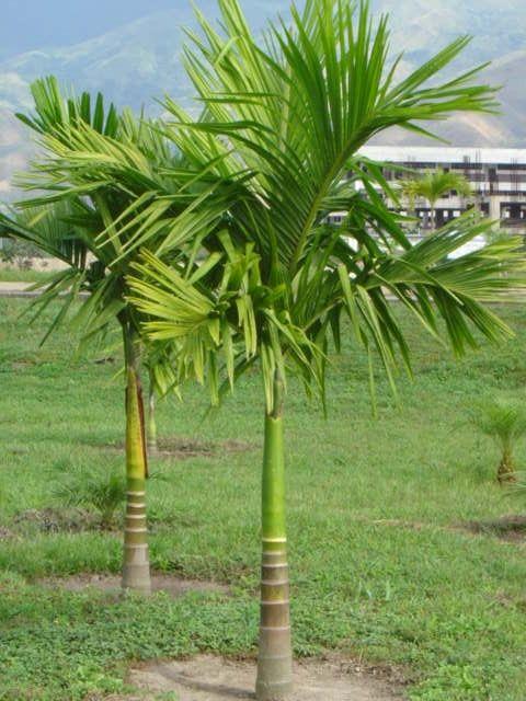 Palma manila veitchia merrilli decalisehablabien for Athos palma jardin