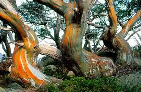 Snow Gums By Ern Mainka Nature Tree Unique Trees Old Trees