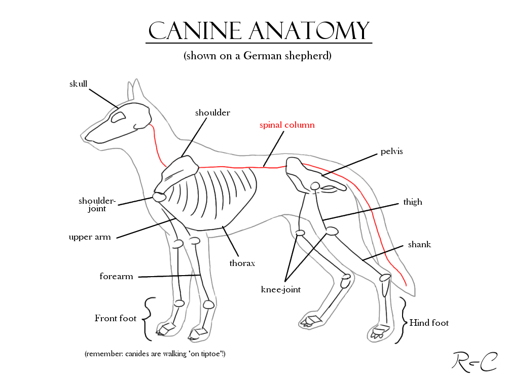 Canine_Anatomy_Study_by_DarkRika.png 1,000×750 pixels   Anatomy ...