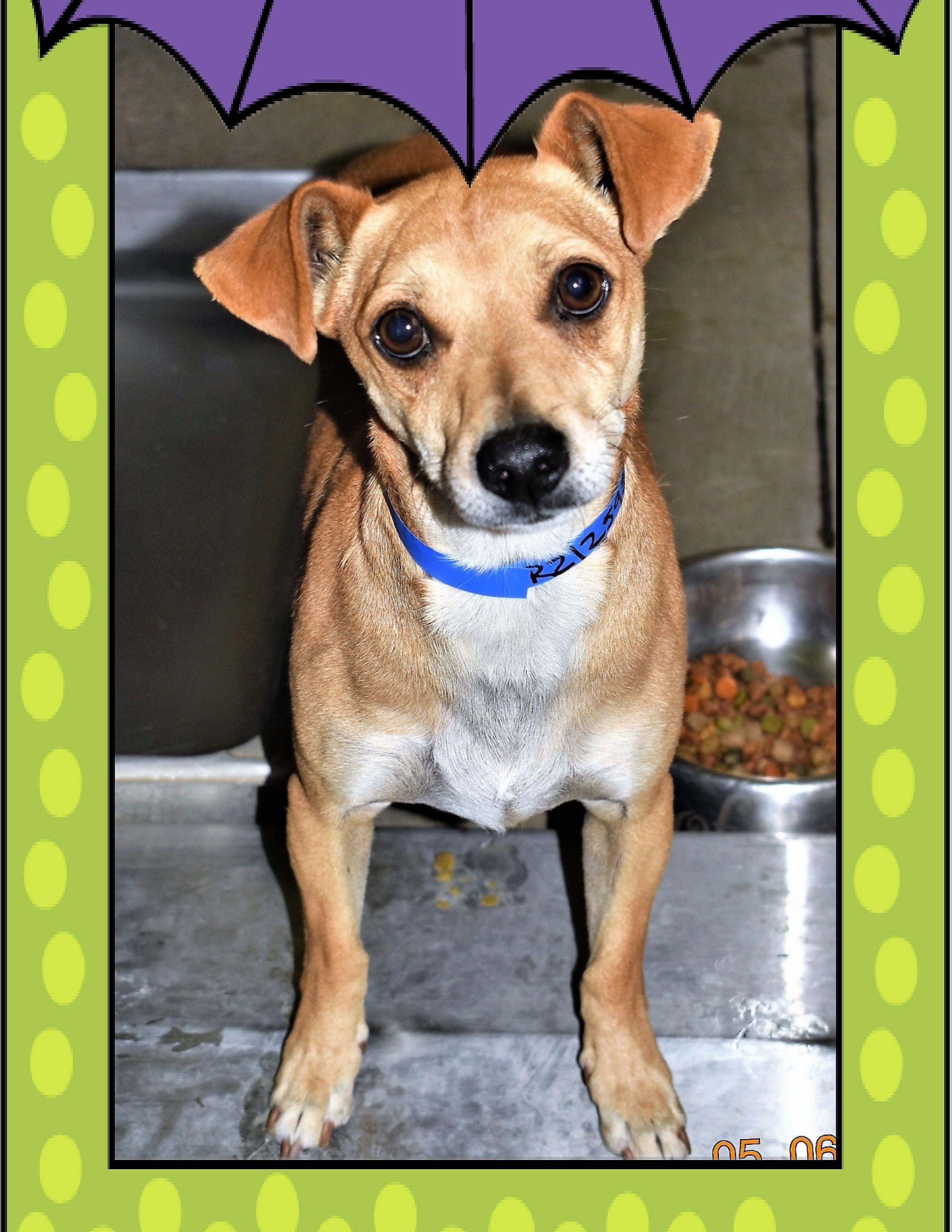 Chiweenie dog for Adoption in San Jacinto, CA. ADN546226