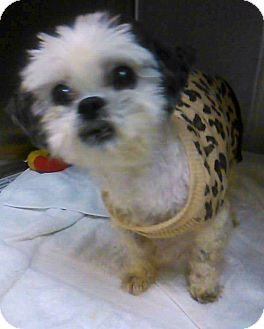 Waldorf Md Shih Tzu Mix Meet Precious A Dog For Adoption
