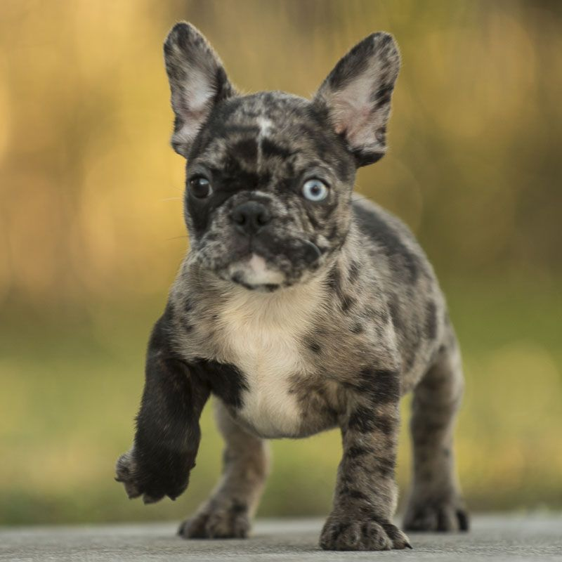 French Bulldog Puppy For Sale In Fort Pierce Fl Usa Adn 59929