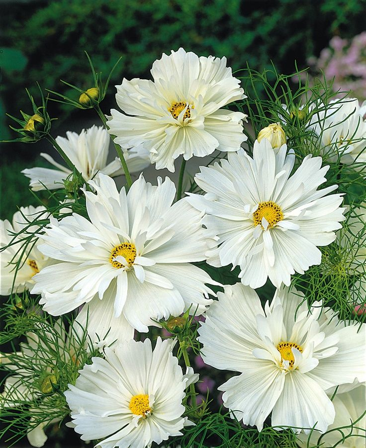 Simplicity sencillez landscaping plants pinterest cosmo psyche white cosmos seeds garden seeds annual flower seeds attracts monarch butterflies and goldfinch blooms through fall mightylinksfo
