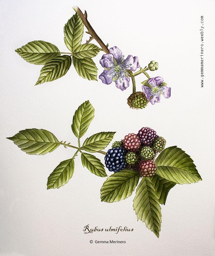 Zarzamora Rubus Ulmifolius Gemma Merinero