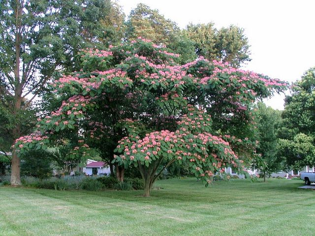 Mimosa tree is beautiful this year Flowers