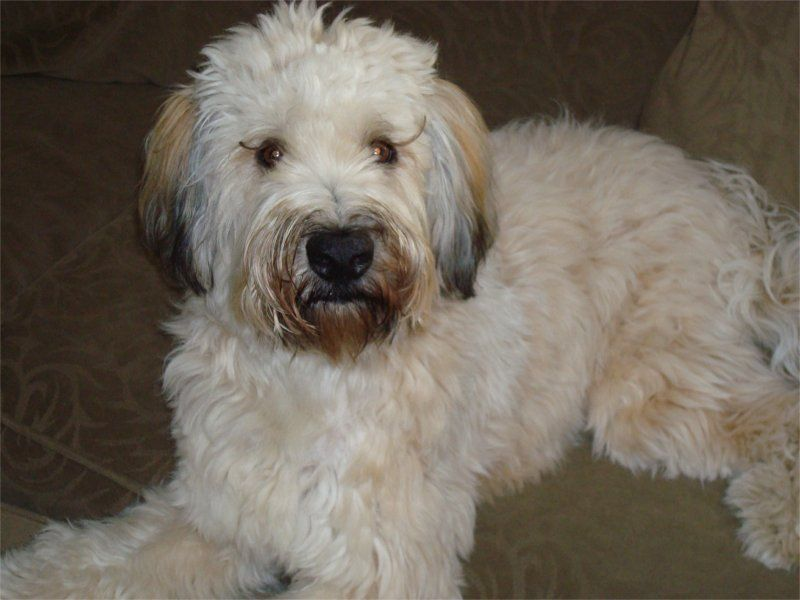Soft Coated Wheaten Terrier Photos Pictures