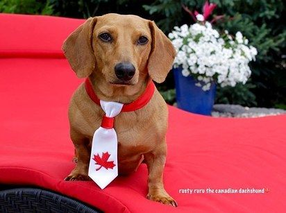 This Dachshund Is Not The Hero Canada Deserves But The Hero