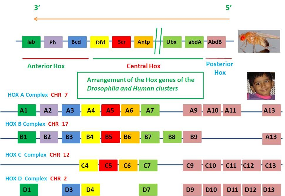 hox-complex-humans-droso-copy Development Pinterest Hox gene - new blueprint gene expression