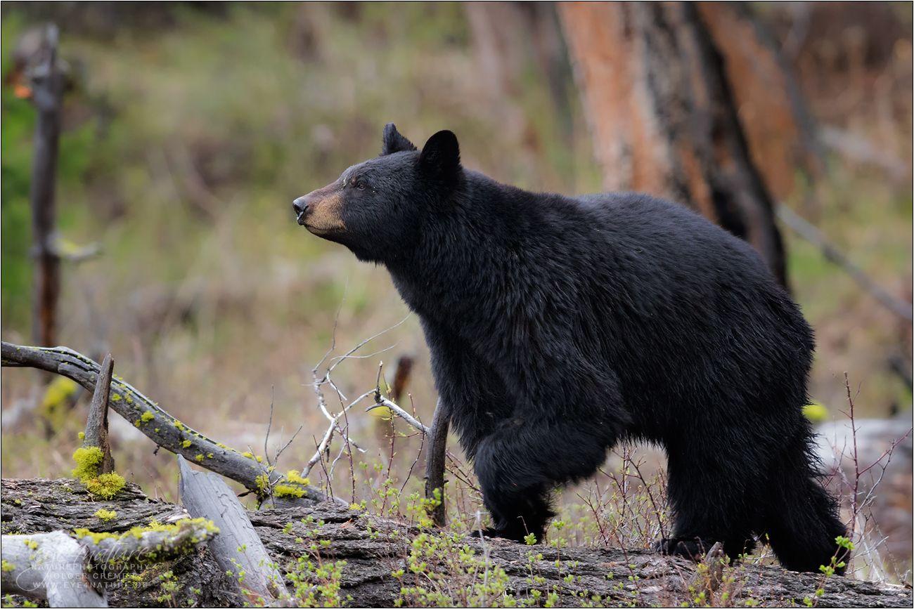 Schwarzbärin Forum für Naturfotografen   Schwarzbär, Tiere ...