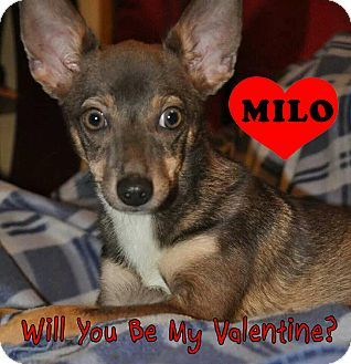 Indianapolis In Chihuahua Mix Meet Milo A Dog For Adoption