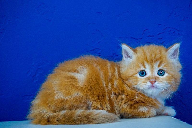 Ragdoll Kittens for Sale Near Me Ragdoll kittens for