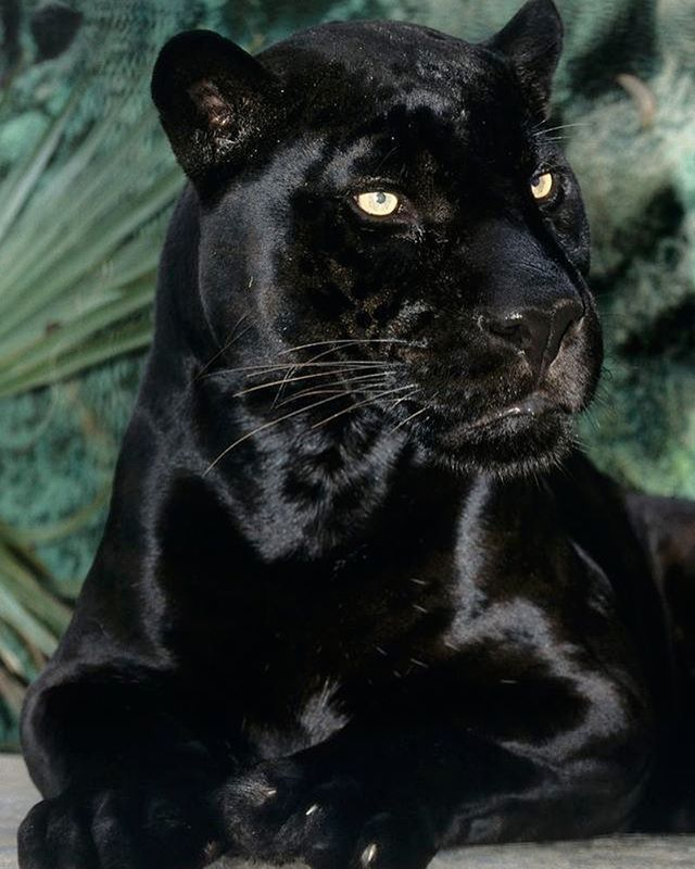 Noble Black | Photo by : Rıp Orson and San Diego Zoo #WildlifeOwners