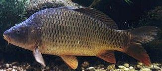 Fische im Starnberger See: Karpfen