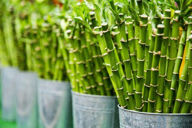 Lucky bambou (Dracaena sanderiana) ou bambou porte-bonheur ...