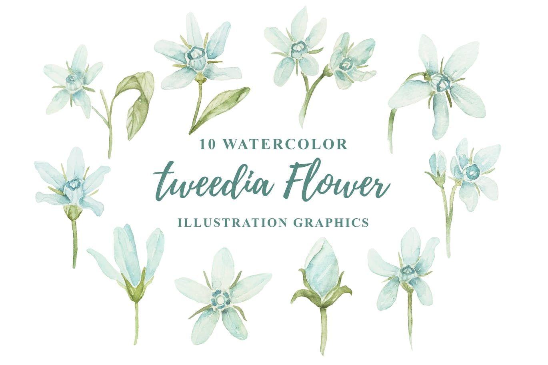 10 Watercolor Tweedia Flower Illustration Graphics By Ianmikraz On