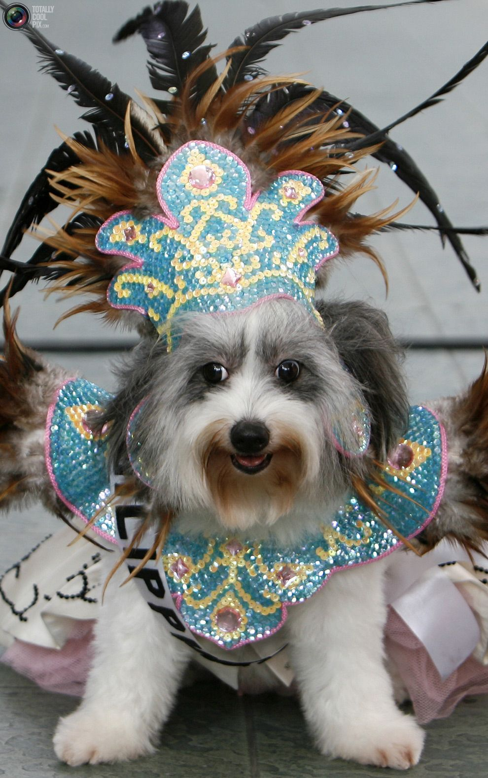 Julia A Shih Tzu Japanese Spitz Cross Dressed In A Native Filipino Costume Waits For Her Turn During The Fashionis Dressed Up Dogs Animal Dress Up Fancy Hats