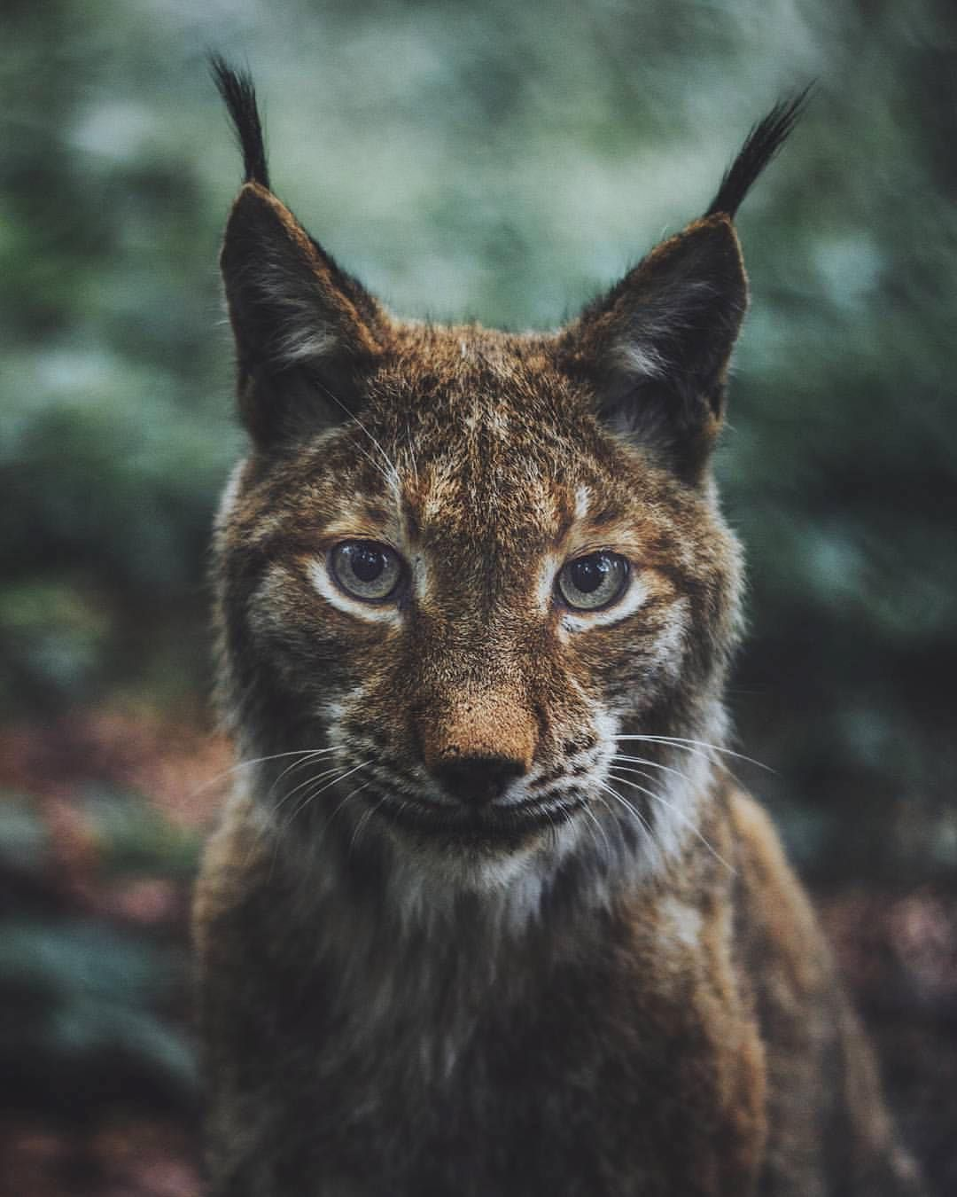 What does the Lynx say? Photography by livingitrural.