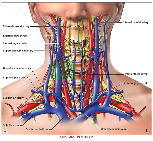 Anatomy Of The Arteries Veins And Nerves Of The Cervical Neck
