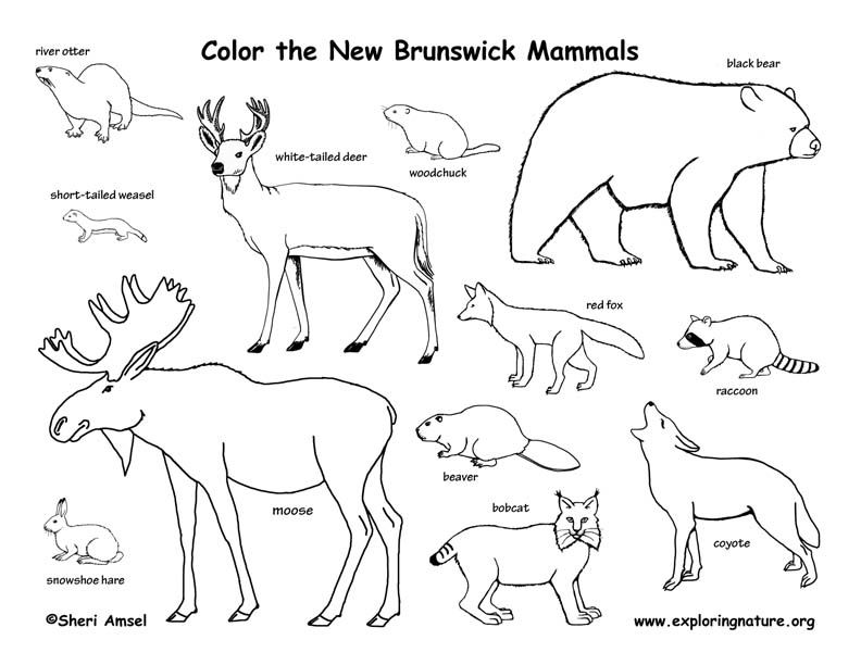 Canadian Province New Brunswick Mammals Coloring Page With