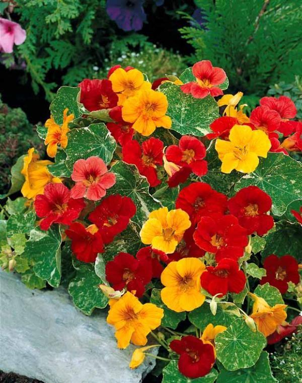 Capucines naines en m lange fleurs et plantes de toutes for Achat fleurs et plantes en ligne