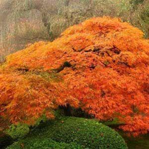 Photo de erable du japon akita yatsubusa jardins et fleurs de printemps pinterest erable - Erable du japon orange dream ...