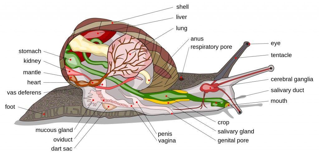 Vistoso Manzana Anatomía Caracol Galería - Imágenes de Anatomía ...