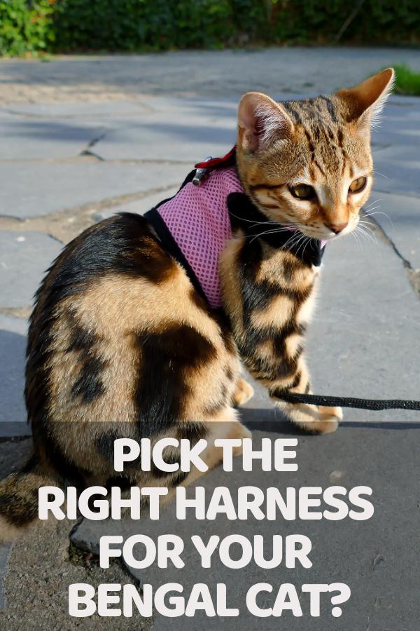 7 Best Cat Harnesses For Bengal Cats [ 2020 ] Bengal cat