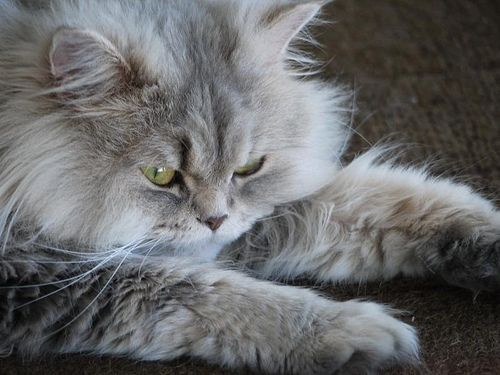 how to clean cat pee out of carpet