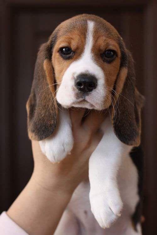Photo of Puede obtener accesorios y joyas hechos a mano de Beagle de Paws Passion … …