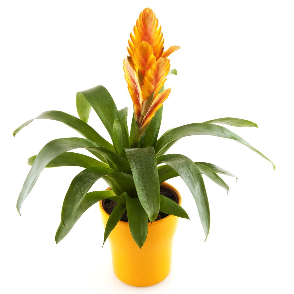 Bromeliad plant pictures yahoo image search results for House plant maintenance