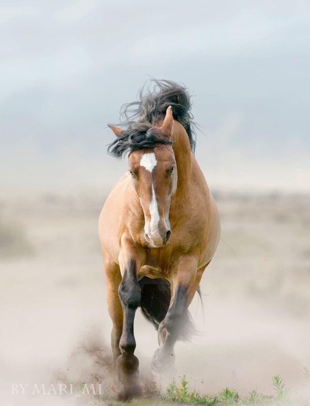 Bay stallion in dust