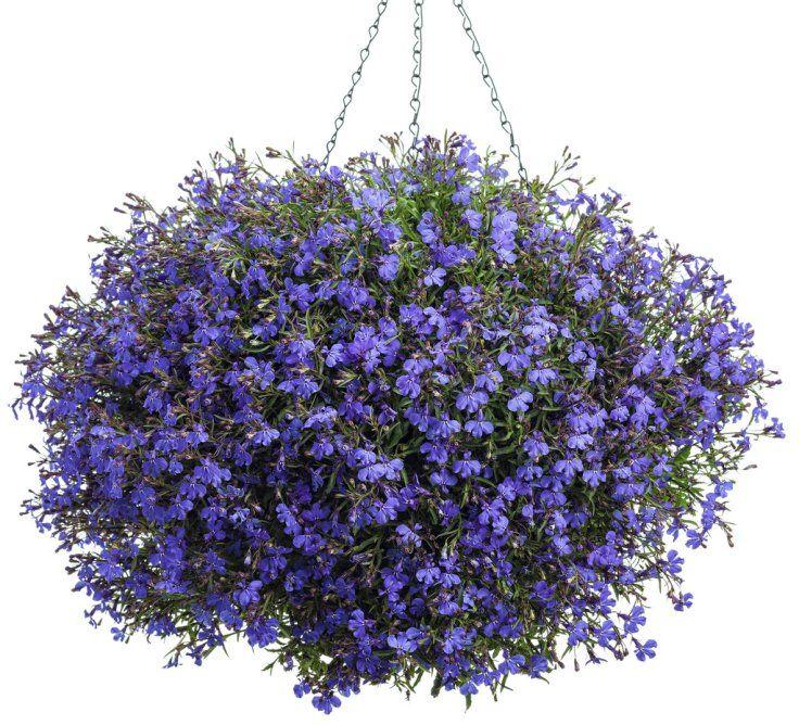 로벨리아자, 진정으로 만드는 웅장한 교수형 바구니 것은 바로 식물의 선택입니다. 당신이 선택할 날씨 모노 문화 또는 멋진 조합 , 당신은 당신이 선택하는 식물을 알고 있어야합니다. 선택을 돕기 위해 우리가 선택한 가장 인기 적합한 식물의 10 당신이 만드는 데 도움이됩니다 완벽한 매달려 바구니. 봐, 그리고 코멘트 섹션에서 좋아하는 교수형 바구니 식물 누구인지 알려주십시오.