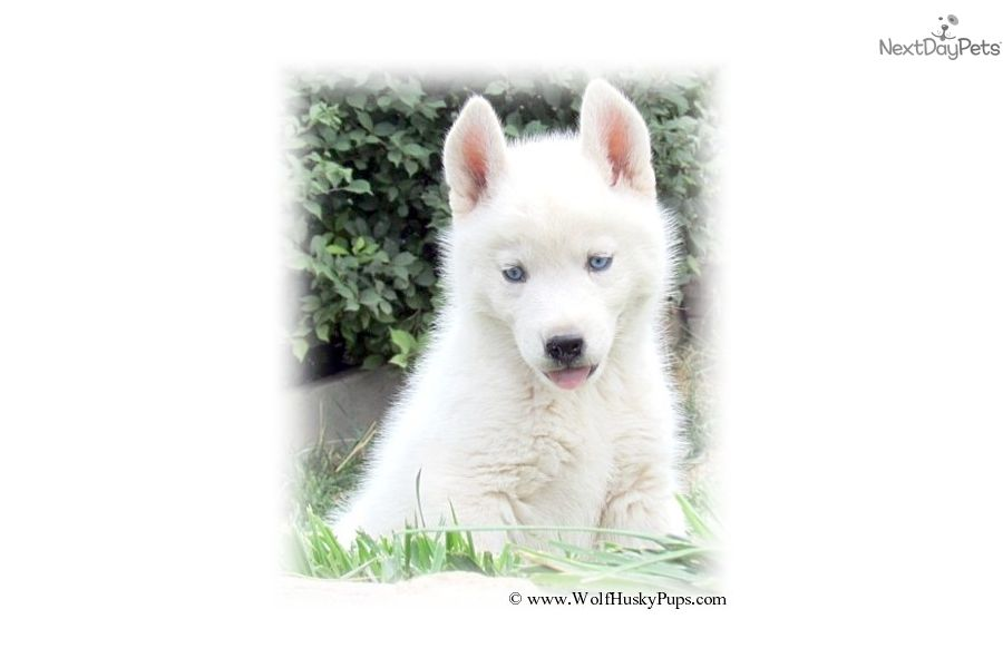 Mack Wolf Hybrid Puppy For Sale Near Tampa Bay Area Florida