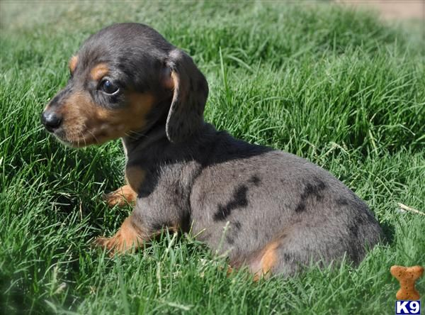 I Want One Bad Puppies Dachshund Puppies For Sale Dachshund Puppy