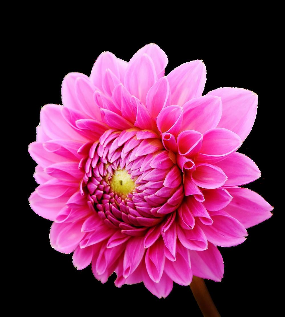 Free Image On Pixabay Dahlia Dahlias Autumn Asteraceae Flower Images Dahlia Flower Flowers