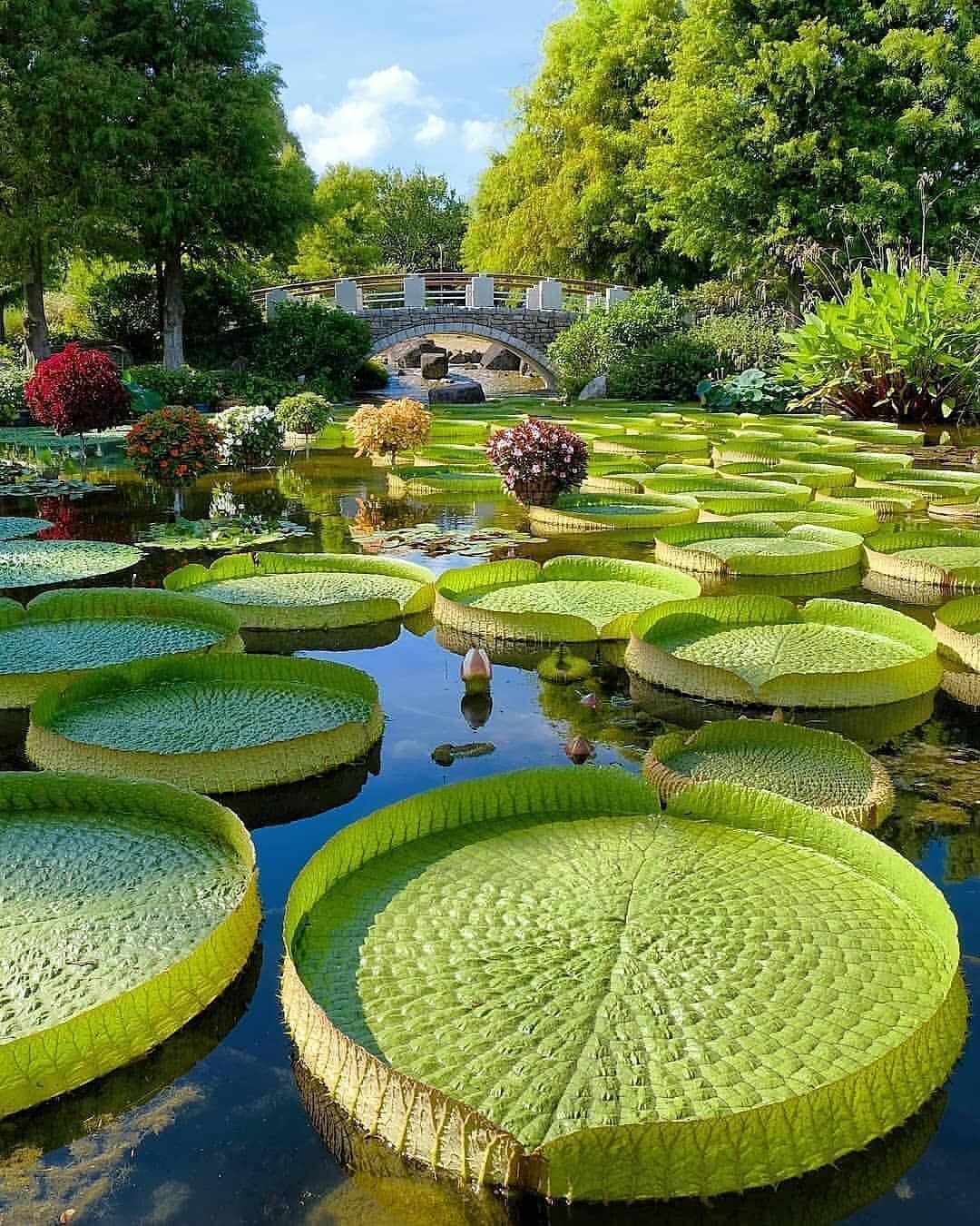 World Of Wonderful Nature Interesting Facts Beautiful Pictures Giant Water Lily Water Lilies Garden Planning