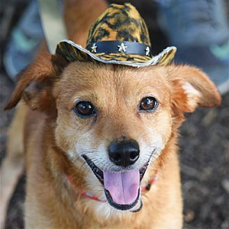 Huntley Il Corgi Pomeranian Mix Meet Toby A Dog For Adoption