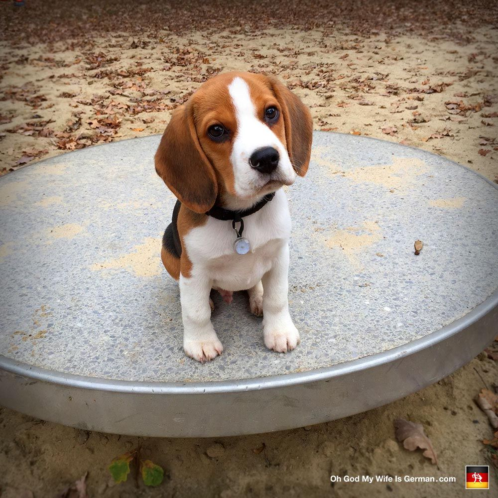 3 Month Beagle Puppies Dog Breed Information